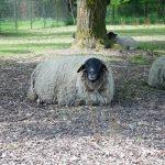 Bild von Schafe
