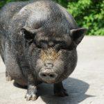 Bild von Hängebauchschwein