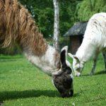 Bild von Lamas