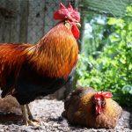 Bild von Italiener Hühner